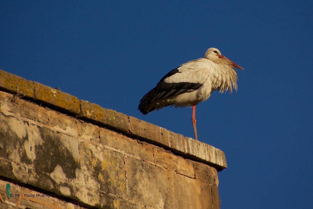 Storch in den Ruinen von Shellah